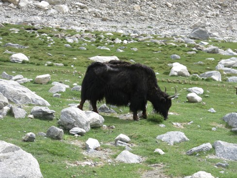 On the way to Pangong Lake - a wild yak