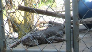 There was this iguana in the cage