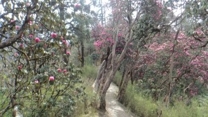 More beautiful rhododendron trees