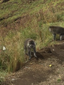 Monkeys of Lombok. Different to their Shing Mun cousins with the pink butts